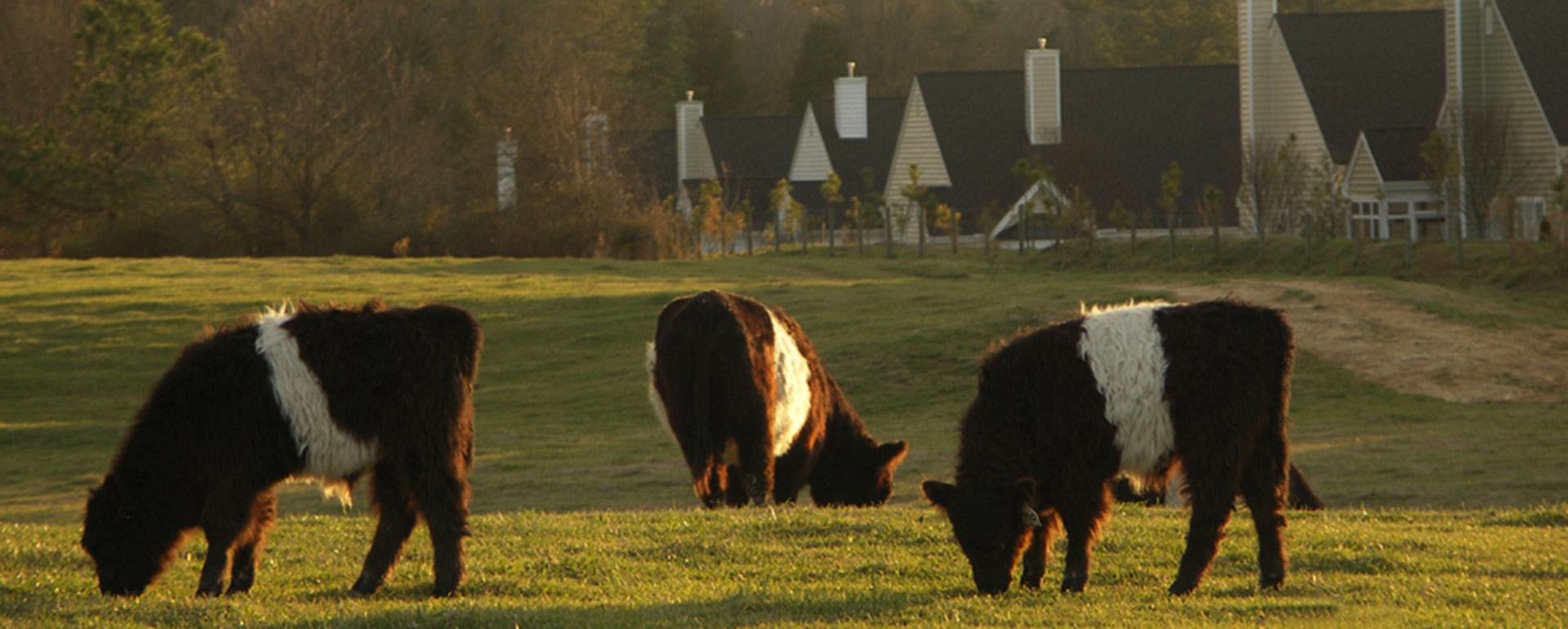 Belted Galloway cows in the Weathersfield pasture in Fearrington Village