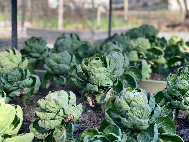 brussles sprouts in the culinary garden