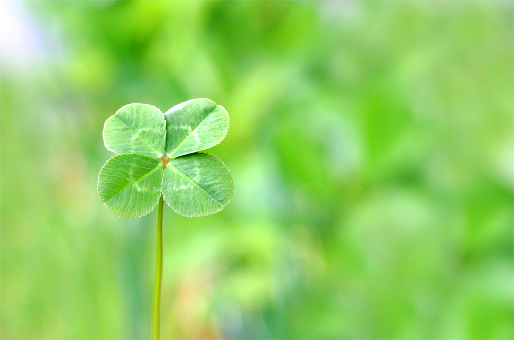 a single clover on a green background
